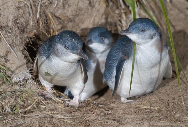 Baby Penguin watching