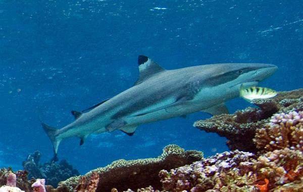 Snorkelling with Reef Sharks