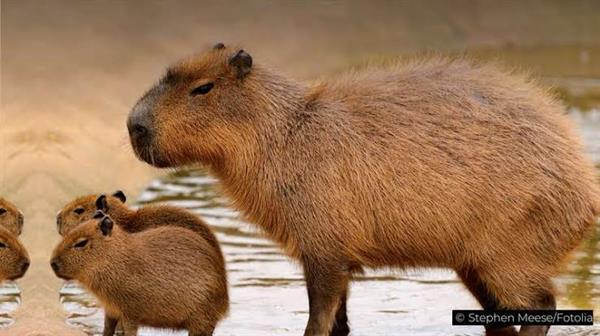 Visit a capybara