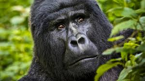 Gorillas Africa