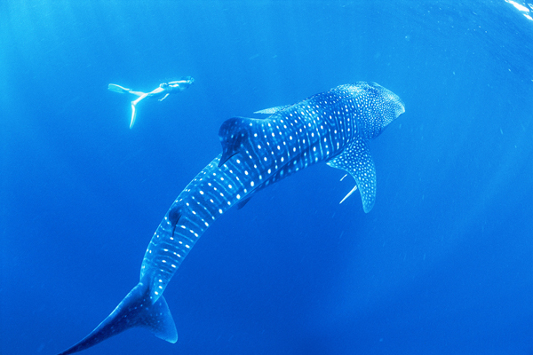 Swimming with Whale Sharks, Philippines