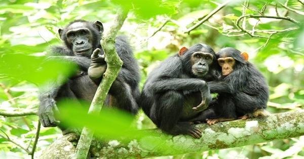 Trekking the Kibale chimps