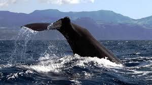 Whale & Dolphin Watching - Ponta Delgada (Day Trip)