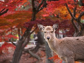Lunch for 2 in Nara - the town of wild deer!