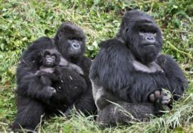 Chimpanzee / Gorilla trekking