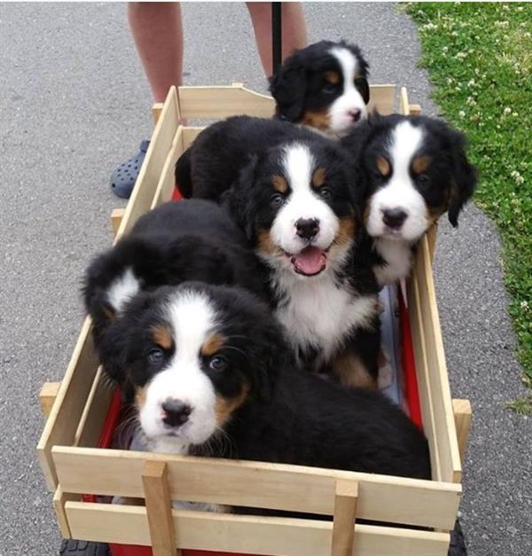 Bernese Mountain Dog Puppy Party!