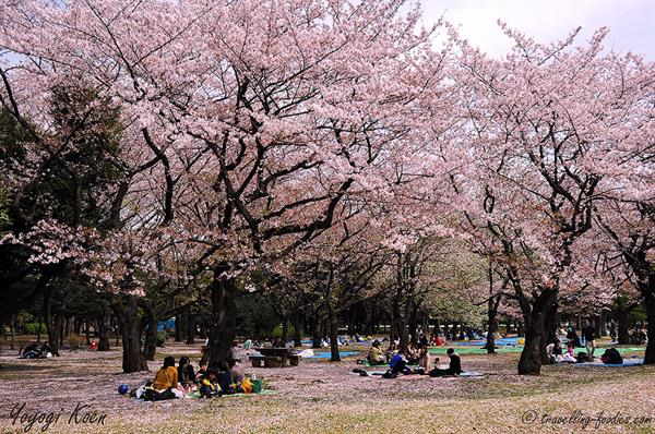 Picnic under the cherry blossoms