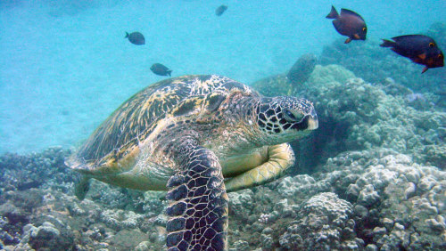 Turtle Reef Kayak Tour - Maui