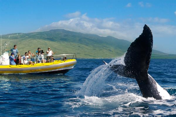 Whale watching at Hawaiian Paddle Sports, Maui.