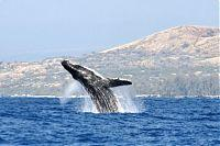 Whale watching off the Big Island coast