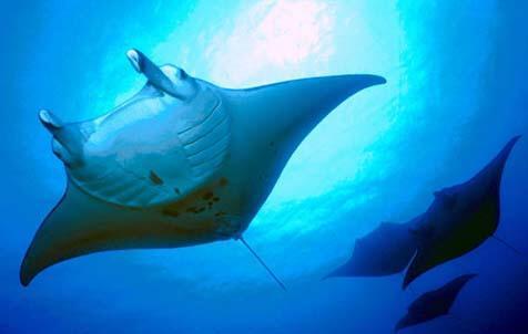 Night Snorkel Tour with Pacific Manta Rays