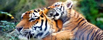 Tiger Kingdom Experience Phuket - The Ethical One!