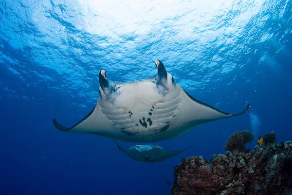 MANTA RAY NIGHT DIVE & SNORKEL ECOADVENTURES